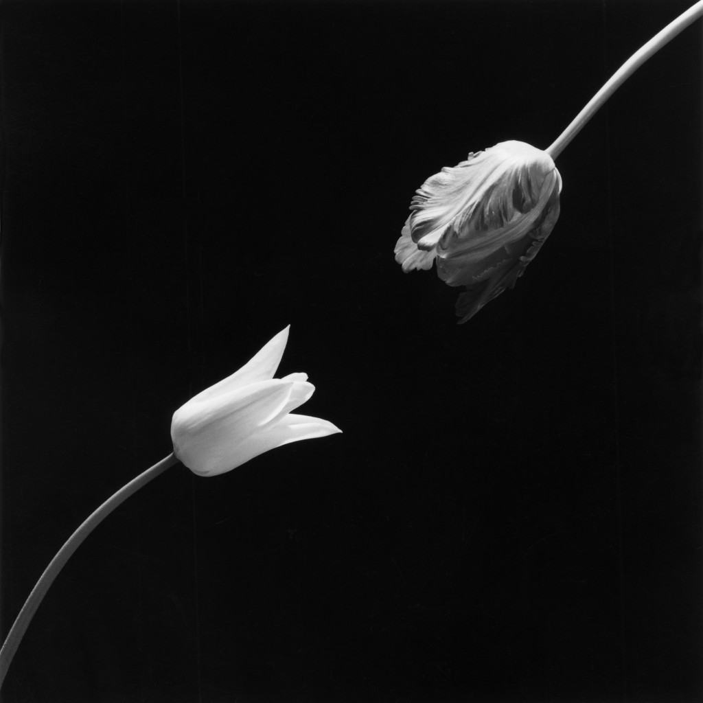 Robert Mapplethorpe, Tulip, 1984 © Robert Mapplethorpe Foundation. Used by permission.