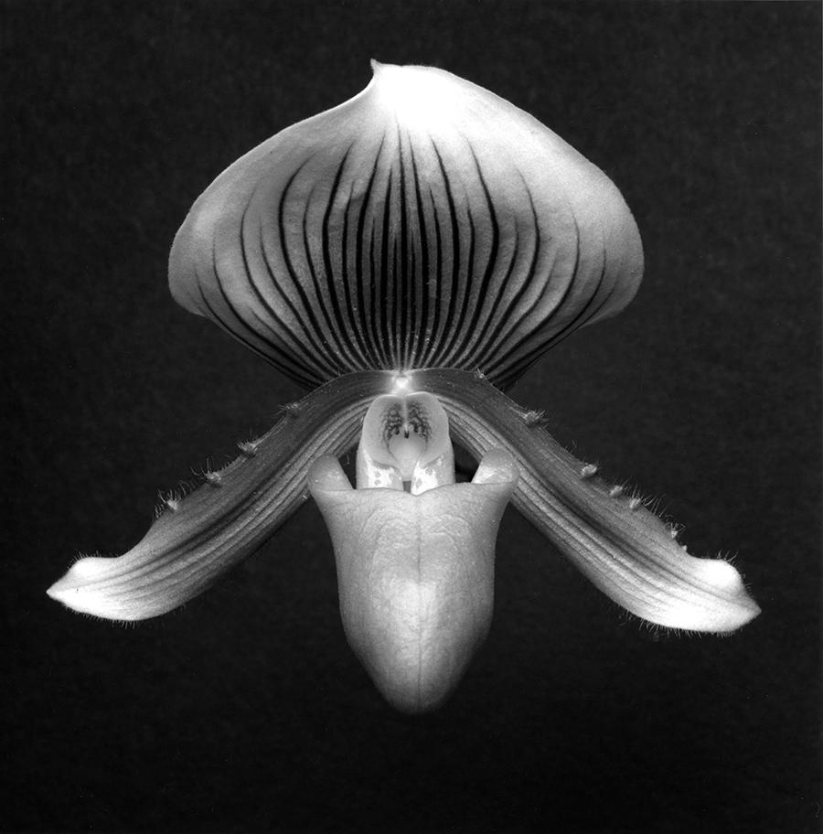 ロバート・メイプルソープ「Orchid」1988年 @Robert Mapplethorpe Foundation. Used by permission.